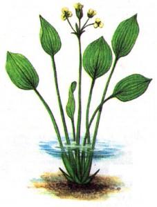 лимнохарис