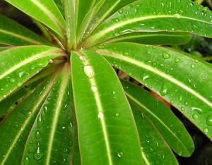 Молочай, эуфорбия (Euphorbia)