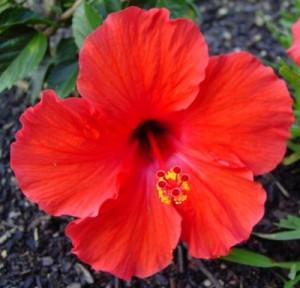 Гибискус, китайская роза (Hibiscus)
